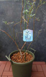 べランダでのブルーベリーの育て方【植え込み】バークチップでマルチング