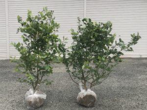 ベランダでのブルーベリーの育て方 根巻き苗