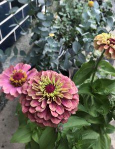 ドライフラワー 向く花・植物 ジニア