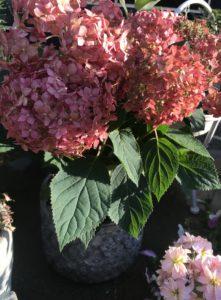 ドライフラワー 向く花・植物 アナベル