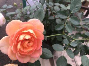 京都にあるバラ・クレマチス専門店【松尾園芸】レディオブシャーロット
