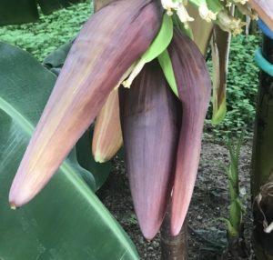 咲くやこの花館【鶴見緑地の温室】バナナ