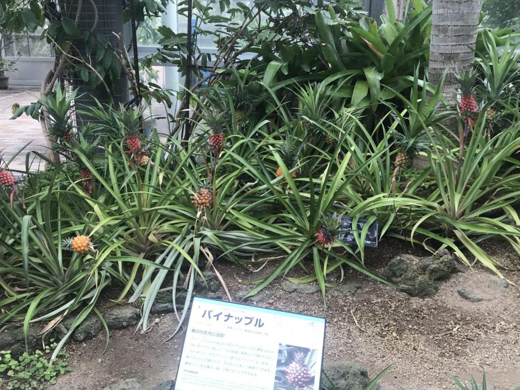 咲くやこの花館【鶴見緑地の温室】パイナップル