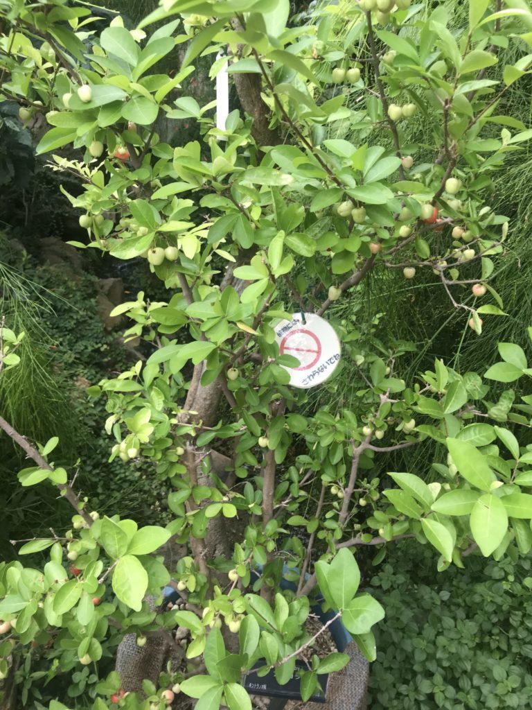 咲くやこの花館【鶴見緑地の温室】グアバ